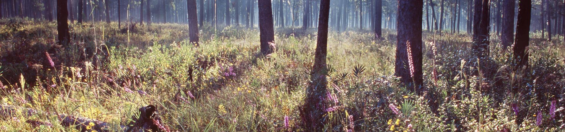 Pine Habitat