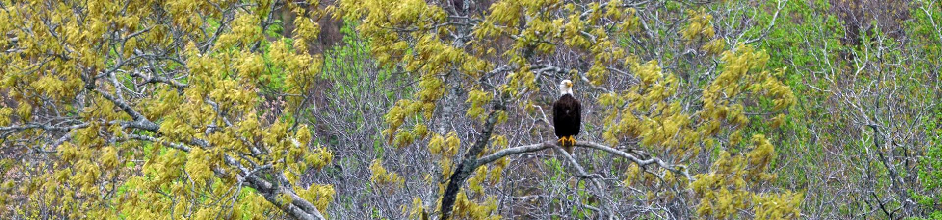 Perched Eagle