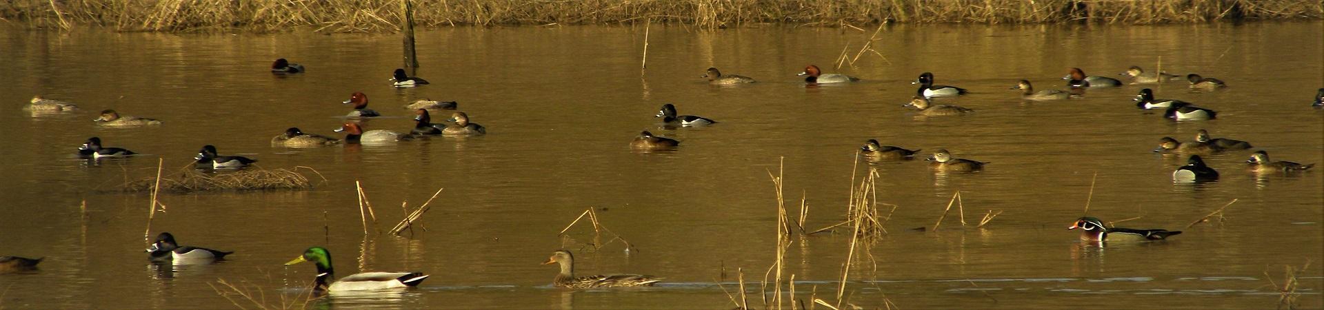 ducks on water at Rum Creek WMA