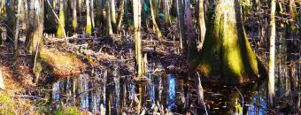 Swamp and Trees