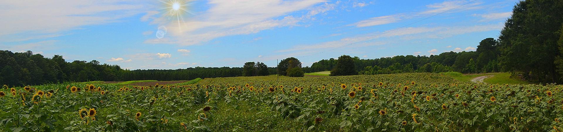 sunflowers in dove field at Joe Kruz WMA