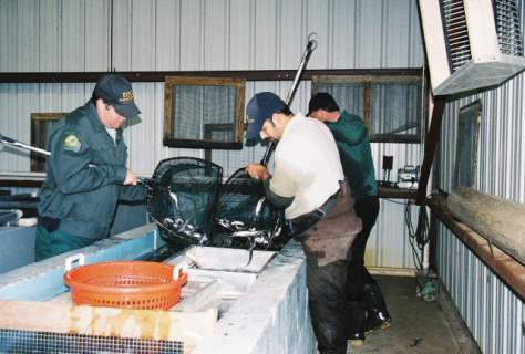 Sorting catfish in holding house