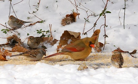 Birds feeding on platform in snow. Terry W. Johnson