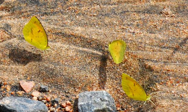 Butterfly puddle party. (Terry W. Johnson)
