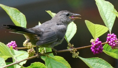 Young catbird eating beautyberries. Terry W. Johnson