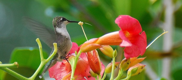 Ruby-throated hummingbird on trumpet creeper. Terry W. Johnson