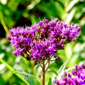 Ironweed flower head (Terry W. Johnson)