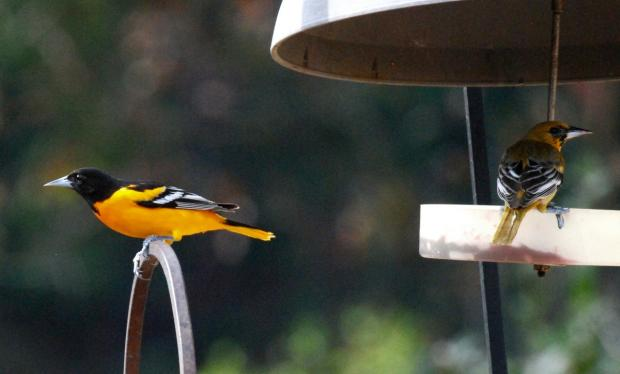 Baltimore orioles at the feeder (Terry W. Johnson)