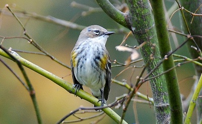 Yellow-rumped warbler. (Terry W. Johnson)
