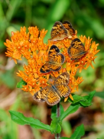 Butterfly weed (Terry W. Johnson)