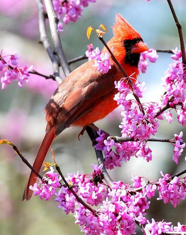 Cardinal eating redbud blossoms. Terry W. Johnson