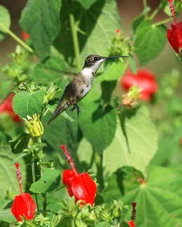 Rubythroated hummingbird at Turk's cap. Terry W. Johnson